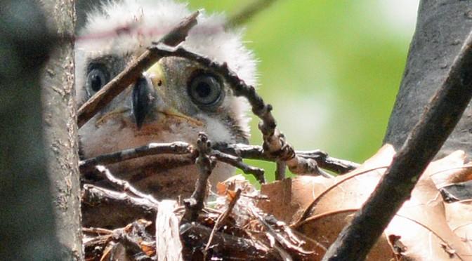 07-18-2014 365 baby hawk