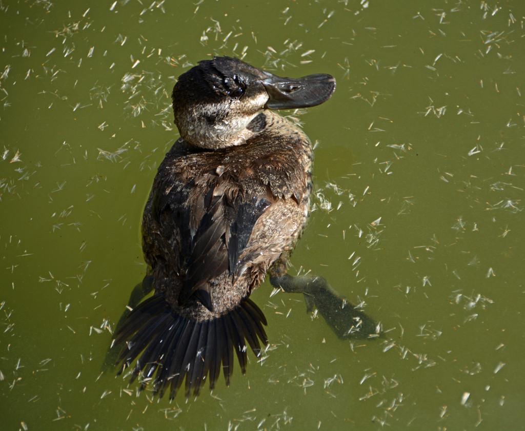 11-07-2013 Ruddy Duck 2