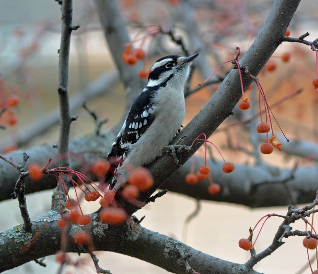 11-29-2013 365 Downy Woodpecker