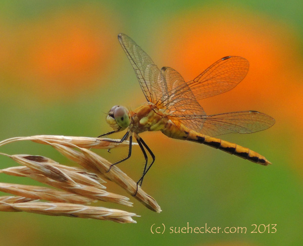 Dragonfly Orange_edited-1