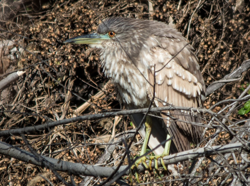 Juvie BC Night Heron