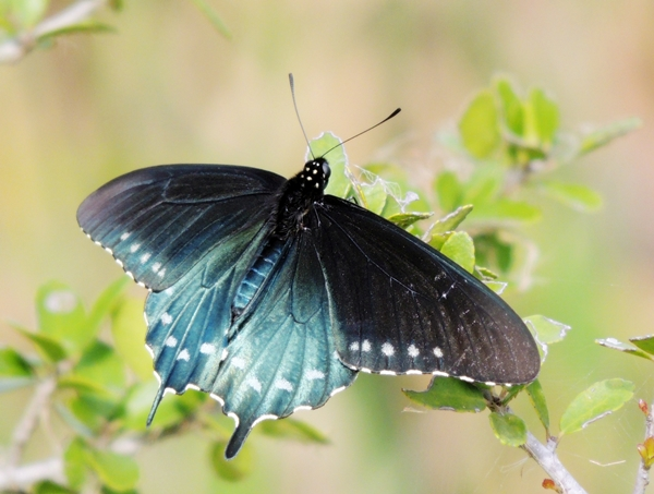 Pipevine Swallowtail reduced