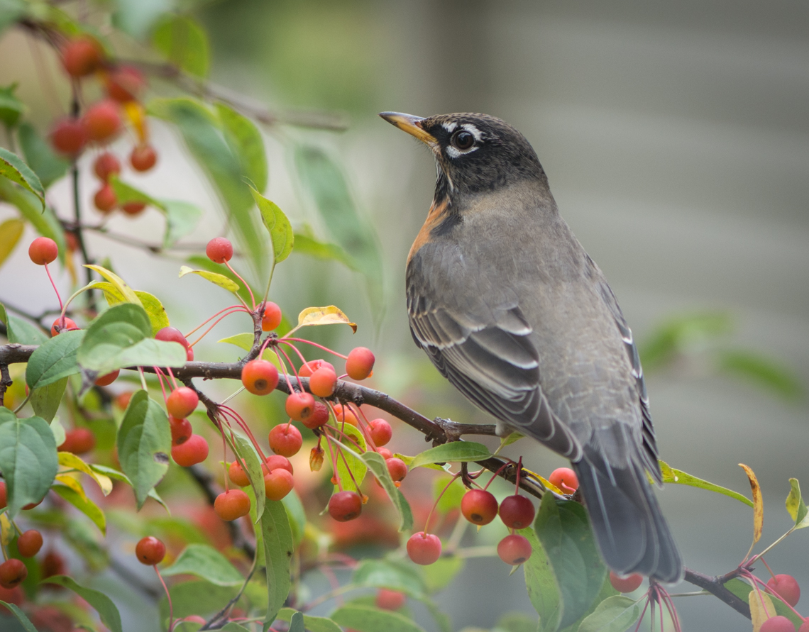 Robin w apples