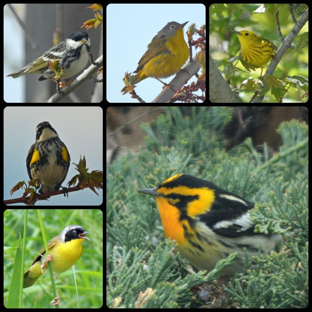 Warbler Collage