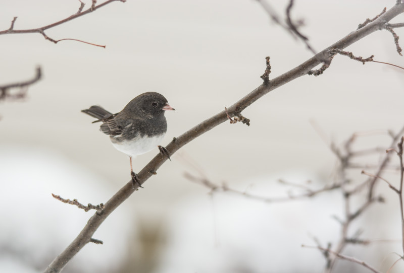 snowy dark eyed junco